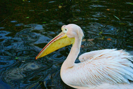 White Pelican  Pelecanus onocrotalus  photo