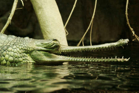 Indian gavial  Stock Photo