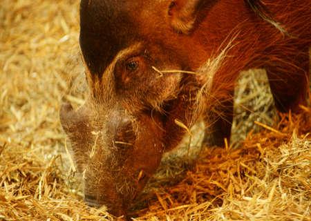 Pig-Potamochoerus porcus