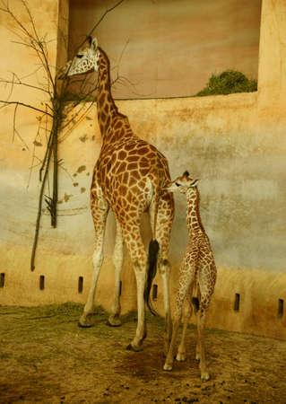 Rothschild giraffe Stock Photo