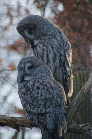tawny: Tawny vulture