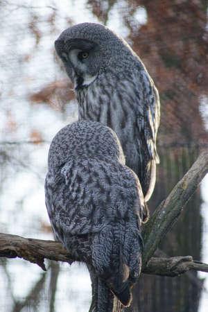 Tawny vulture