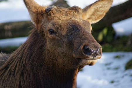wapiti: Wapiti Manitoba