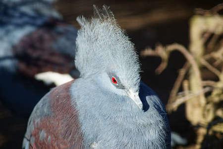 Pigeon-punk