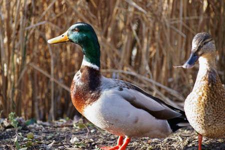 drake: Drake and duck