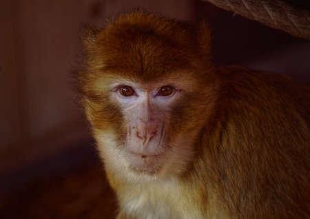 macaque magot Stock Photo