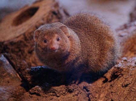 Slender mongoose-Class  mammal Order  carnivores  Carnivora  Family  Mongoose  Herpestidae