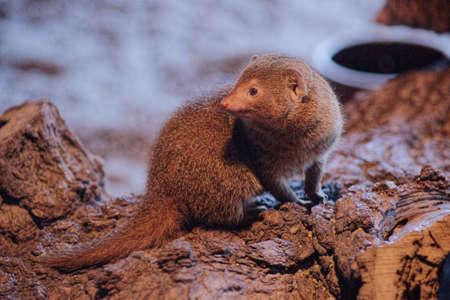 herpestidae: Slender mongoose-Class  mammal Order  carnivores  Carnivora  Family  Mongoose  Herpestidae