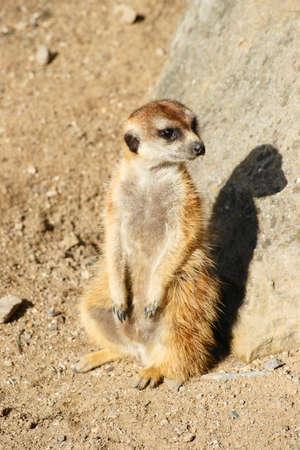 Meerkat  Фото со стока