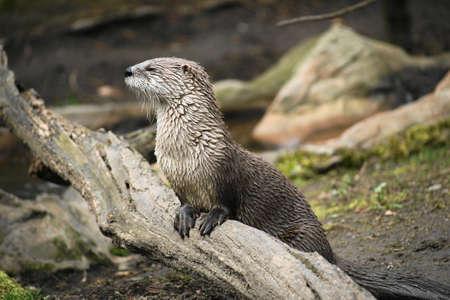 otter: otter  Stock Photo