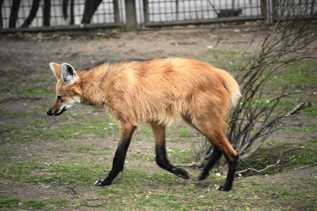 Maned wolf- Chrysocyon brachyurus   Stock Photo