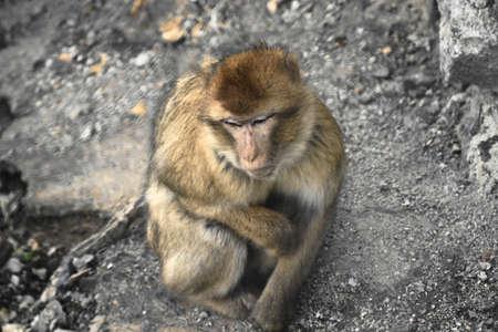 Barbary Macaque at the Prague Zoo