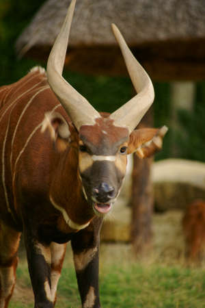 bongo  Tragelaphus Euryceros  artiodactyl, Stock Photo