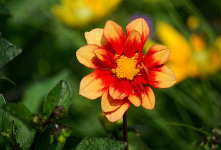 The exhibition dahlias in the garden dendrologic in Pruhonice Stock Photo