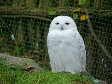 snowy owl: Pictures from Prague  Stock Photo