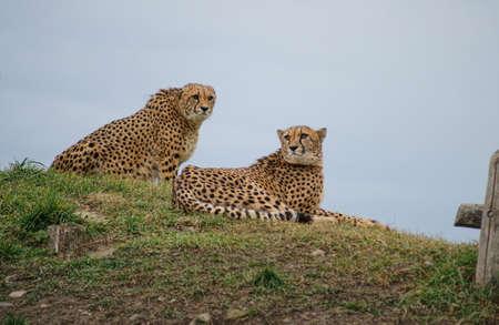 Cheetah  Acinonyx jubatus , class  mammals, Order  Carnivores, Family  Cats Stock Photo