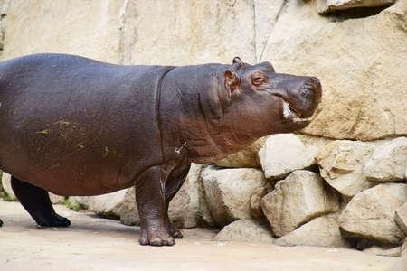 Class  Mammals, Order  Artiodactyla, Family   Hippopotamus