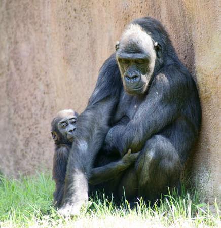 lowland: Lowland gorilla