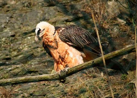 Bearded vulture (Gypaetus barbatus) Stock Photo