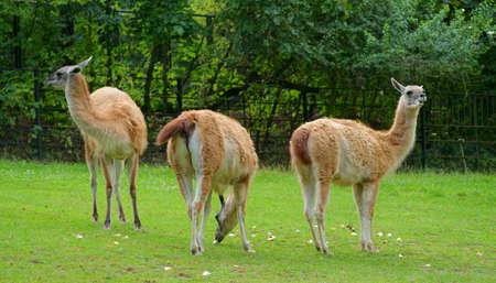 guanicoe: Guanaco (Lama guanicoe) Stock Photo