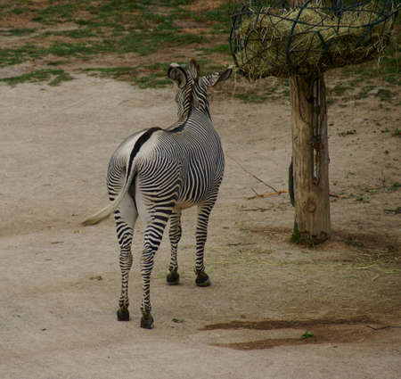 ungulates: Grevy