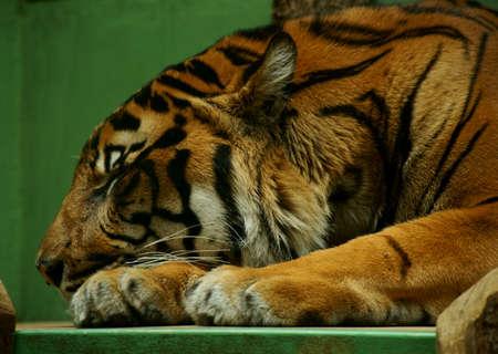felines - Malaysian tiger (Panthera tigris) Stock Photo