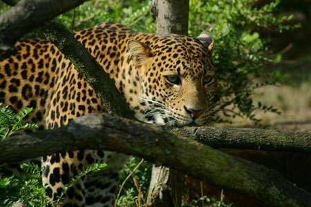 felines - Javan leopard (Panthera pardus MELAS) Stock Photo