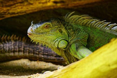 CUBAN iguana (Cyclura nubile)  Stock Photo