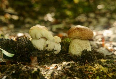 boletus mushrooms-