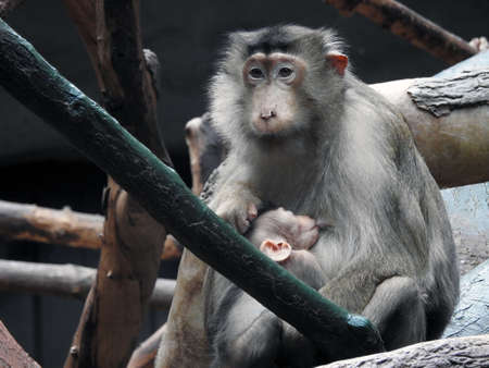 sylvanus: Barbary Macaque (Macaca sylvanus)