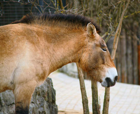 Przewalski Horse Stock Photo