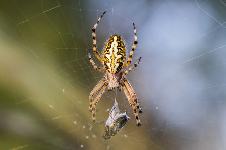 Crusader Spider on the Web with his Prey