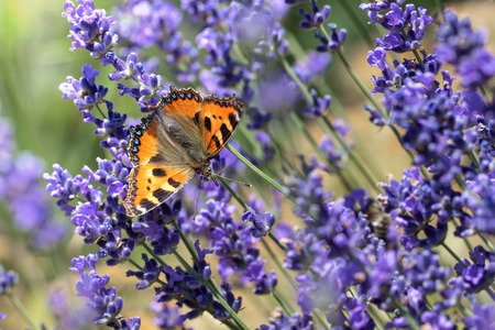 feasting: Red Small Tortoiseshell butterfly feasting on violet lavender