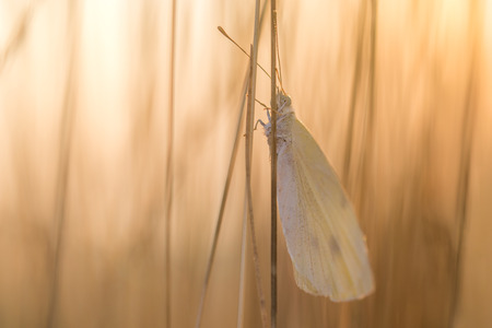sunshine insect: Cabbage White Butterfly on Blade of at Sunrise Stock Photo