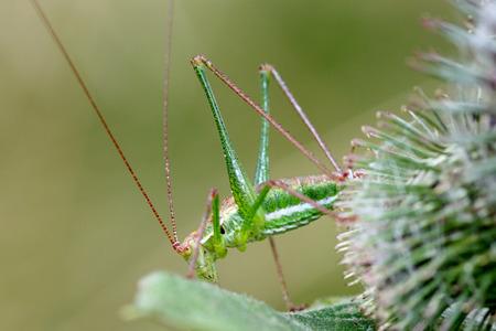 the antennae: Green Grasshopper with Long Antennae hidden in Thistles