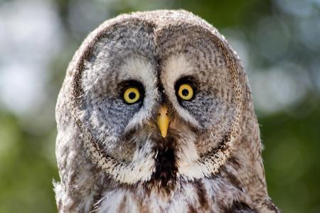 ojos verdes: Vista de un b�ho gris con los ojos amarillos Foto de archivo