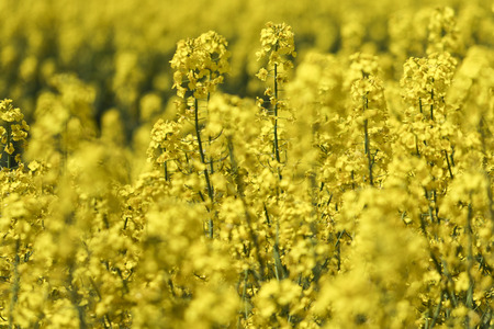 oilseed: Yellow Oilseed Rape Field