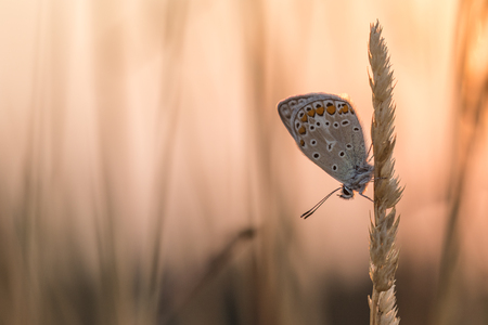 red pink: Blue Butterfly at Sunrise Stock Photo