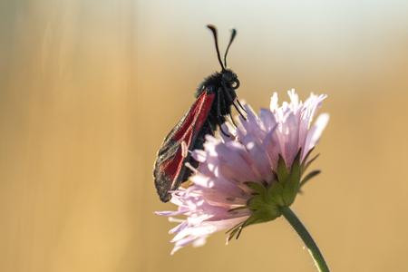 rosa negra: Mariposa negro y rojo en una flor en el fondo beige Foto de archivo