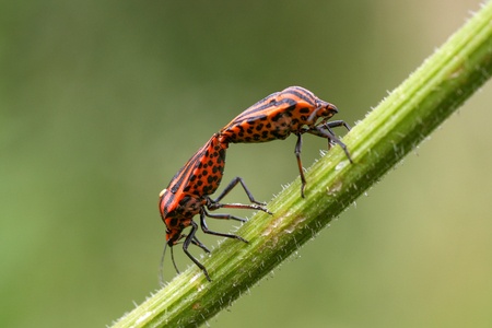 graphosoma: Two Red and Black Bug Graphosoma lineatum on a Blade