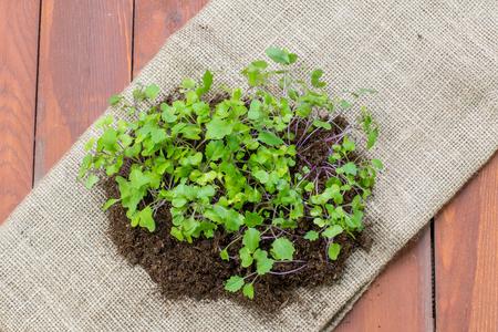 jute sack: Piantine piccole piante di rapa in sacco di iuta su fondo in legno