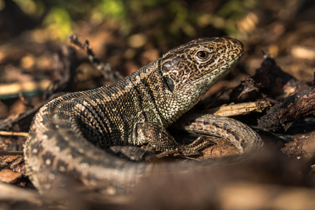 bark mulch: Basking Sand Lizard (Lacerta agilis) in the Bark Mulch in the Evening Stock Photo