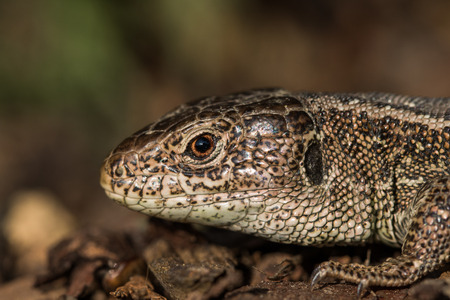Detail of a Head Basking Sand Lizard (Lacerta agilis) in the Bark Mulch in the Evening