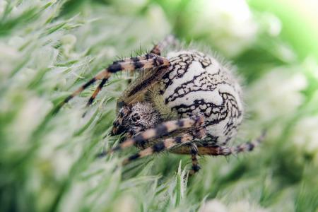 arachnidae: Detail on a Spider on Green Flower (Aculepeira ceropegia - Oak Spider)