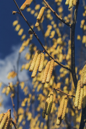 catkins: Yellow Shrub Spring Catkins on a Background of Blue Sky