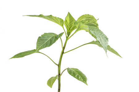 capsicum plant: Detail on a Seedling Paprika (Capsicum, Peppers) Plant Vegetable isolated on White Background Stock Photo