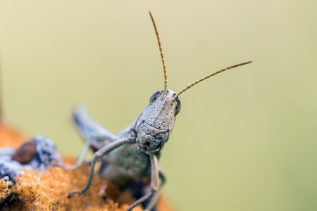 Detail of head white grasshopper (Chrysochraon dispar) on light yellow background