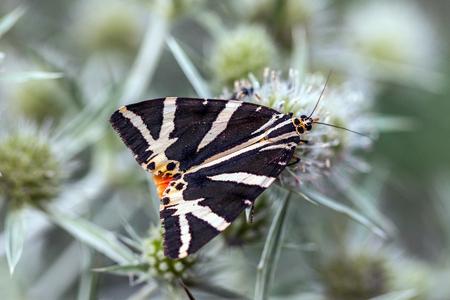 Jersey tiger (Euplagia quadripunctaria) on field eryngo (Eryngium campestre) Stock Photo