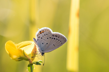 Short-tailed blue or tailed Cupid (Cupido argiades) on yellow flower in summer