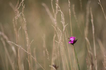 Blossom of Carthusian Pink (Dianthus carthusianorum) in dry vegetation Stock Photo